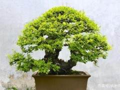 怎样制作榆树老桩盆景 首先要挖桩