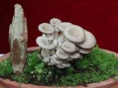 食用菌盆景的栽培过程简单 不需要施肥修剪