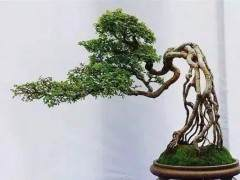 如何给盆景提根造型?