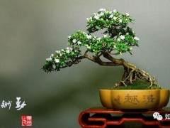 雀梅盆景的对生长环境有什么要求?