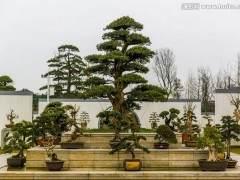 如何将植物生长的基本概念应用于盆景制作?