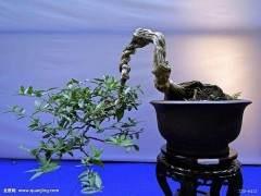 秋季盆景的根系生长和修剪