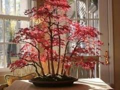 红枫盆景发芽后的土壤与浇水施肥
