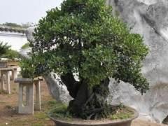你能在多大程度上修剪盆景树干?
