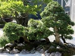 以前落叶的中国榆树盆景两个月重新增长