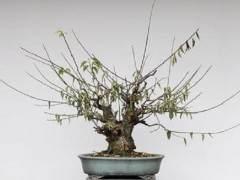 梅花盆景怎么发芽修剪和嫁接 图片
