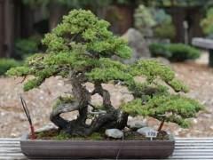 如何修剪落叶或常绿树木盆景的牺牲树枝?