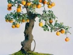 果树盆景的生长情况关键还是要解决好营养