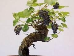 葡萄做盆景一盆一百元 招远果农做活盆景文章