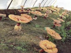 蓟州培育巨型灵芝 观赏可嫁接造型亚博app苹果下载 食用能提高免疫力