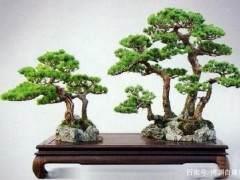这8种松树很适合制作成松树亚博app苹果下载