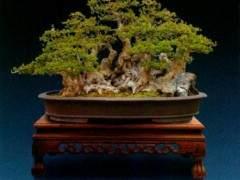 丛林式盆景的制作 从素材而言有两种形式