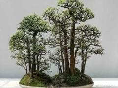 如何正确给树桩盆景施肥?