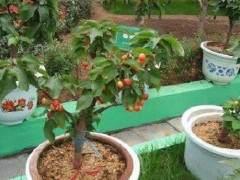 盆栽樱桃的整形修剪与上盆