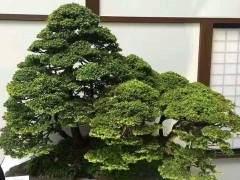 榉树盆景树的养护指南