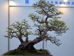 """中国盆景是以""""景""""为核心的多维空间造型艺术"""