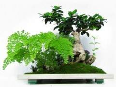 人參榕盆景發芽時對施肥和澆水有何要求