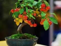 挂果盆景怎么生根栽植的方法