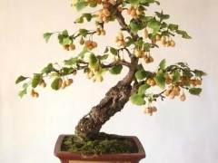 银杏制作盆景怎么倒栽造型的方法