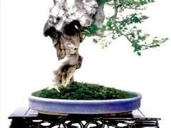 附石式盆景是盆景艺术爱好者的一种艺术表现方式