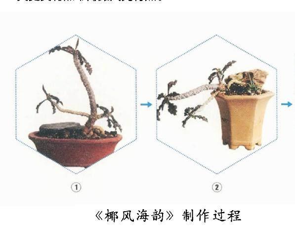 多肉微型盆景《海风椰韵》种植体过程如下