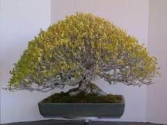 欣赏加州盆景大师石井先生制作的榆树盆景