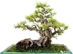 雀梅盆景造成枯枝的3种原因