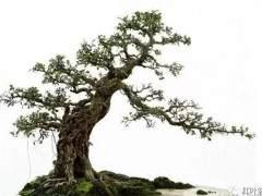 曲干型树木盆景的五种造型方式