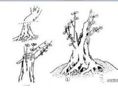 最全的盆景造型教程-干部造型「图」