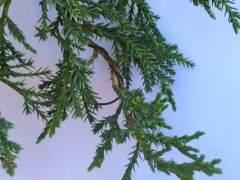 杜松子盆景的幼體生長?管還是別管?