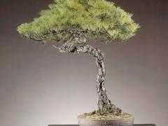 安徽非物质文化遗产—徽派盆景
