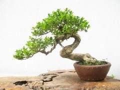 什么制作技巧使黄杨盆景能卖到3万元?