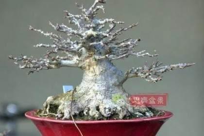 图解 如何用高空压条培养矮霸盆景生根