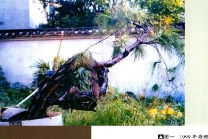 1999年买回的下山桩 已经做出盆景了