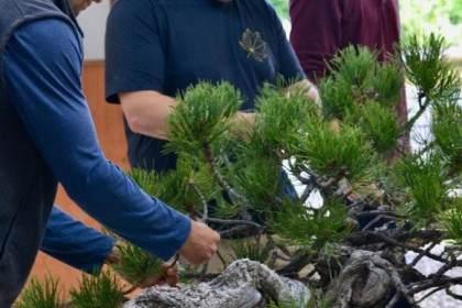 看老外 图解松树盆景的造型造型