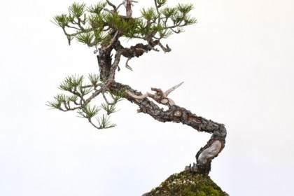 看老外:如何对黑松盆景顶部的进行简单修剪?