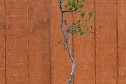 看老外:如何对黑松盆景进行修剪造型?