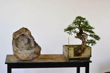 如何制作西方铁杉风格的盆景?
