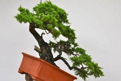 对一棵老山铁杉盆景的修剪造型
