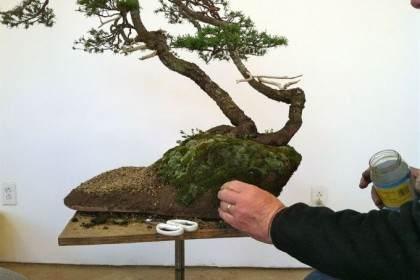 加拿大盆友演示山铁杉盆景的制作过程