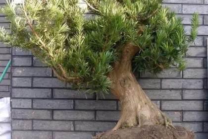 一棵用11年时间改造培养的罗汉松盆景桩坯
