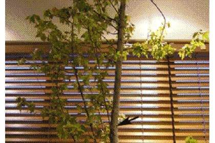 图解三叉戟枫树盆景的修剪过程