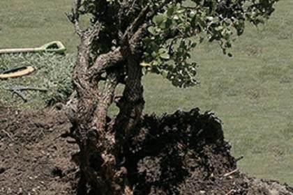 盆景艺术家发表了关于从野外挖掘下山桩的文章