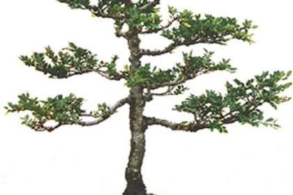 对美国榆树盆景的发芽养护方法 图解