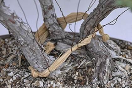 通过盆景盘扎技术来保护分枝