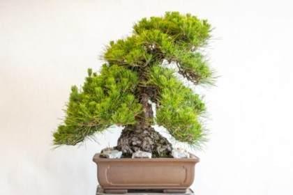 如何增加软木树皮黑松盆景的密度?