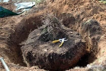图解欧美盆景名家挖下山桩的过程