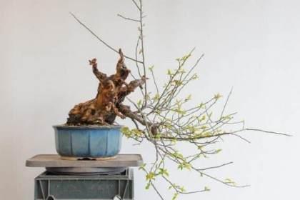 图解 梅花盆景怎么修剪设计的过程