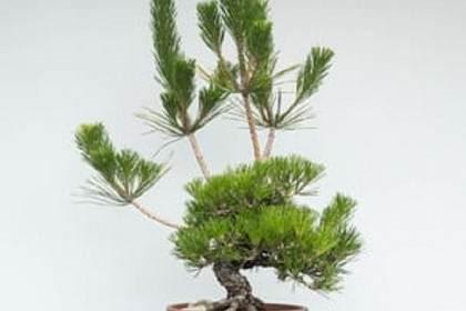 如何修剪黑松盆景的春梢以產生夏筍?