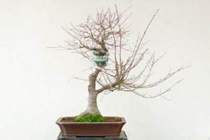 如何在枫树盆景上进行空中压条?